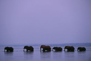 Herd of elephants cross the Zambezi River in line