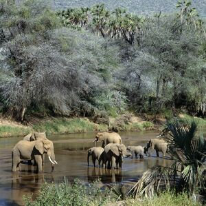 A herd of elephants drinks from the Uaso Nyiru River