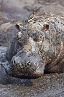 A hippo basks in a mud wallow