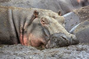A hippo basks in a mud wallow as the Katuma River