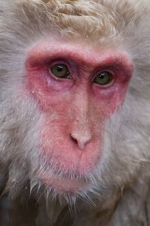 Japanese macaque (Macaca fuscata) / Snow monkey