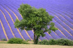 Lavender field near Valensole, Provence, France, Europe