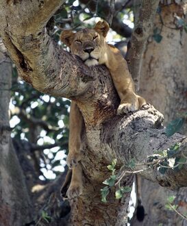 A lioness rests in a fig tree in the Ishasha area of