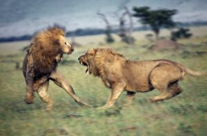Two lions fight to the death over a lioness
