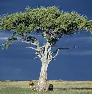 Two lions pause beside a Balanites tree in Masai Mara as rain threatens.