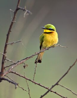 A Little Bee-eater in Katavi National Park, Tanzania.
