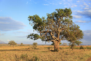 new/20191004 jai 7/lonely tree savanna kidepo national park uganda