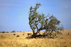 new/20191004 jai 7/lonely tree savanna lion kidepo national park