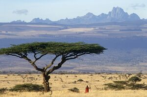 Maasai moran (warrior) framed by an acacia tortilis tree with Mt