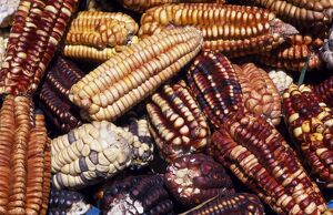 Maize from Pisac market