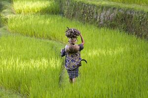 Man carrying firewood & coconuts through rice paddies
