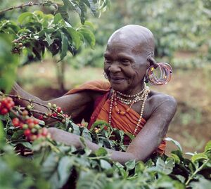 An old Kikuyu lady picks coffee Taken in the 1960's