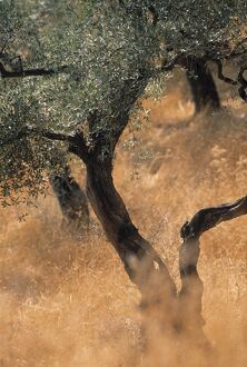 Olive tree, Turkey
