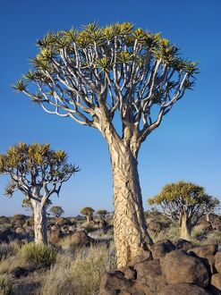 Quivertrees in a forest, close to the Southern Kalahari