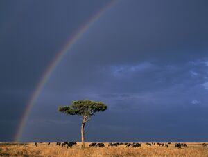 A rainbow in Masai Mara with white-bearded gnus