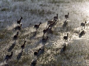 Red Lechwe rush across a shallow tributary of the Okavango