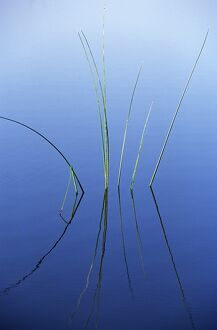 Reeds reflected in water