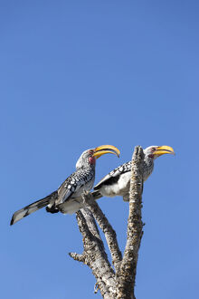 new/20191004 awl 7/southern yellow billed hornbill bird etosha