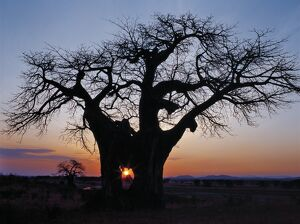 Sunrise through the hole in a baobab tree