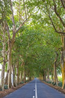 Tree lined road, Flacq, East Coast, Mauritius