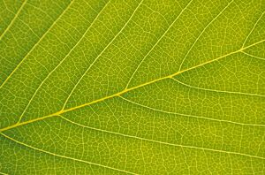 Veins of Leaf