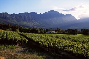 Vineyard at Franschoek