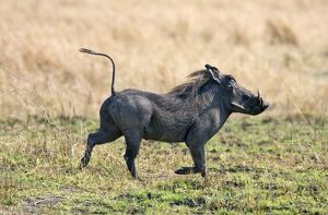 A warthog runs with its tail in the air. Katavi National Park.