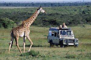 Watching Maasai giraffe on a game drive on a safari holiday