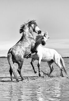 White horses of Camargue fighting in the water, Camargue, France