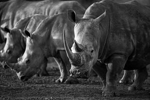 The White Rhinoceros or Square-lipped rhinoceros