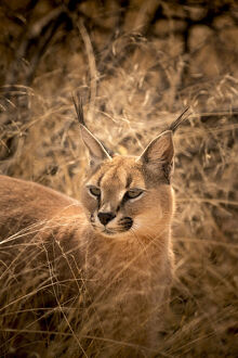 new/20191004 awl 7/wild caracal namibia