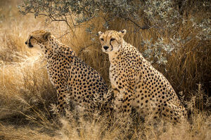 new/20191004 awl 7/wild couple cheetah namibia africa