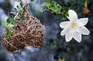 Wild frangipani flower and buffalo weaver's nest