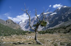 A wind blasted tree high in the Sarykhodan Valley which runs beneath the sheer rock
