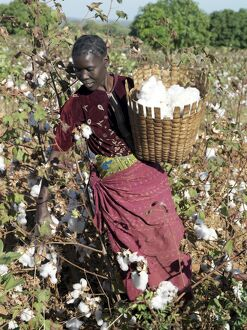 A woman harvests cotton on her husband's smallholding