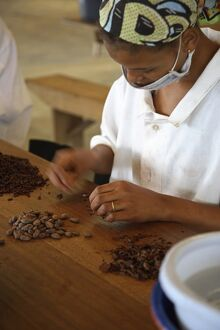 A woman peels the skins away from cocoa beans