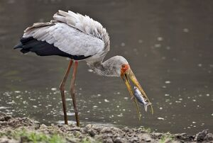 A Yellow-billed stork catches a fish in the Katuma River. Katavi National Park
