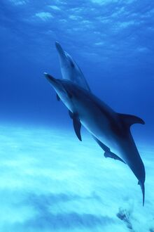 Atlantic Spotted Dolphins (Stenella frontalis) underwater on the Little Bahama Banks