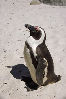 Black footed (Jackass) penguin {Spheniscus demersus} Simonstown, South Africa
