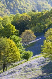 A bluebell field from Loughrigg Terrace in the Lake district National Park, UK