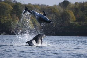 Bottlenose dolphins (Tursiops truncatus) in Tobermory Bay - home of Balamory TV show