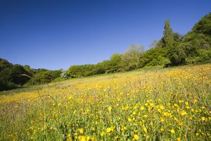 Buttercups flowering in a hay meadow in Berrynarbor in North Devon, UK