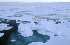 Two female Polar Bears (Ursus maritimus) accompanied by two cubs each walking off