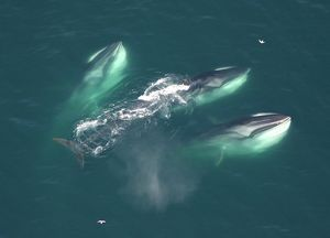 Three Finback whales. Gulf of Maine, USA (rr)