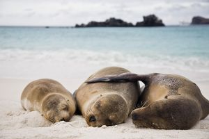 Galapagos sea lion (Zalophus wollebaeki) in Gardner Bay on Espanola Island in the