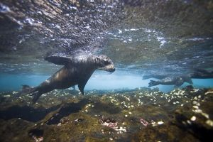 Galapagos sea lion (Zalophus wollebaeki) underwater at the Guy Fawkes Islets near