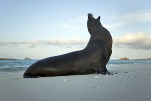 Galapagos sea lion (Zalophus wollebaeki) on the beach at Gardner Bay on Espanola