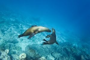 Galapagos sea lions (Zalophus wollebaeki) underwater at Champion Islet near Floreana