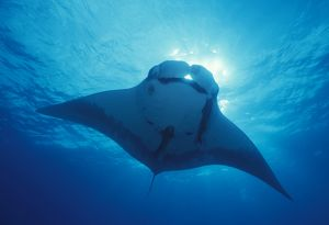 Giant manta ray, overhead (Manta birostris). Mexico, Revillagigedo Is.