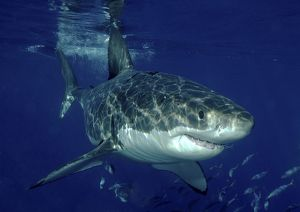 Great White Shark (Carcharodon Carcharias) swimming with shoal of fish.. Isla Guadalupe